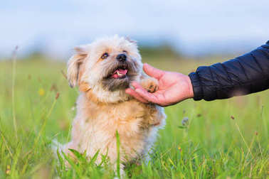 Havanese hybrid gives a man's hand the paw