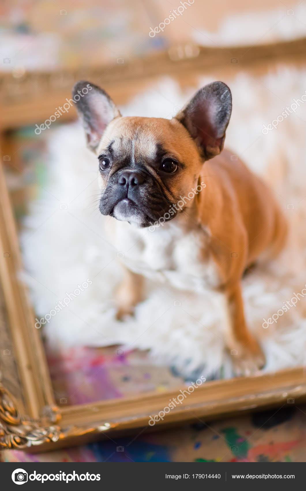 Französische Bulldogge Welpen sitzt in einem Bilderrahmen ...