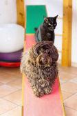 Havanese pes a kočka sedí na houpačce
