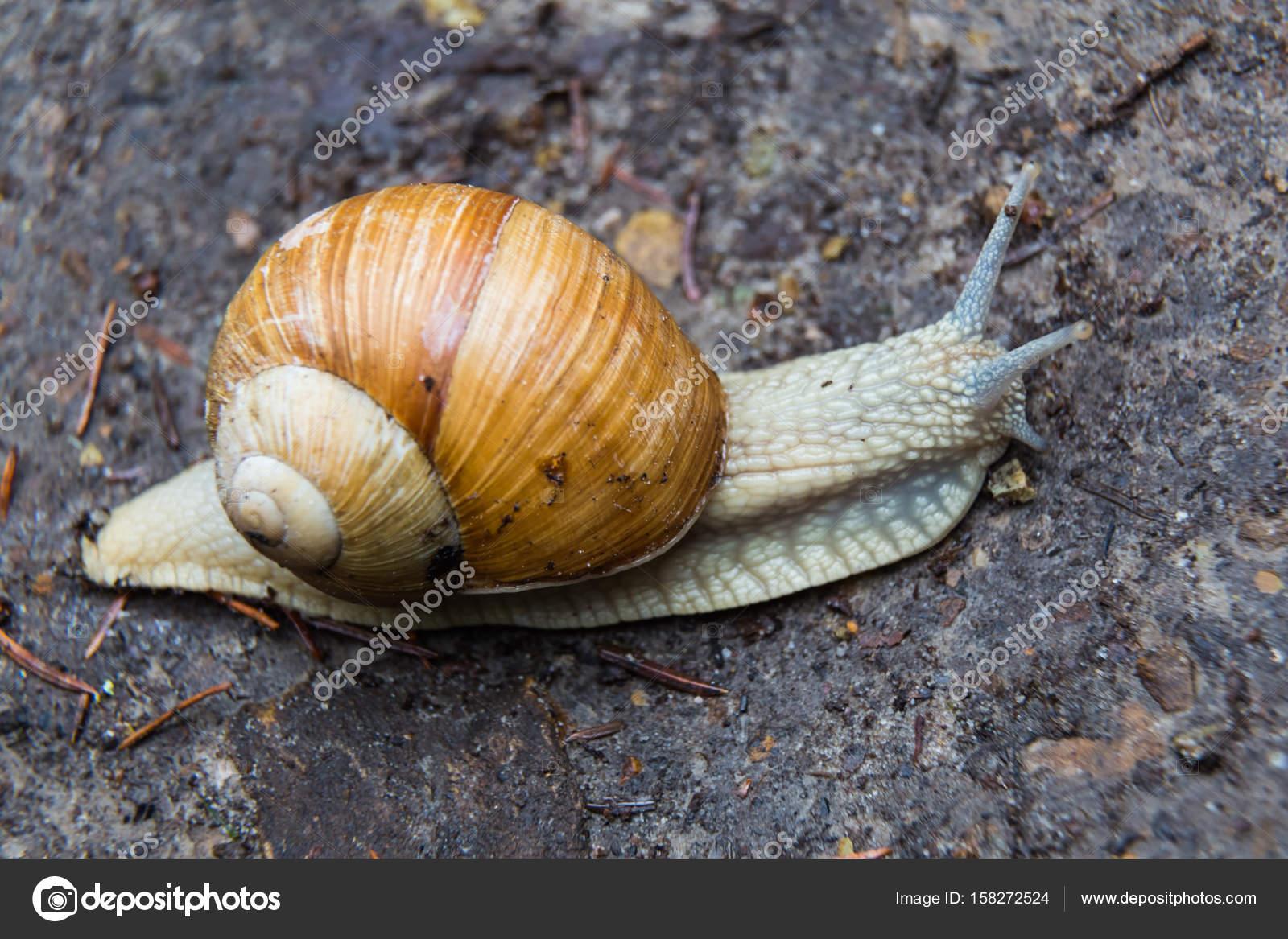 snail gastropod mollusk with spiral sheath stock photo