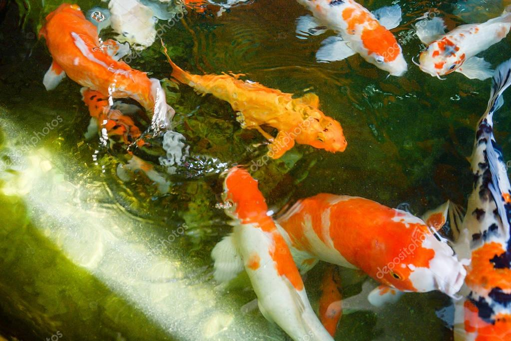 Pesci colorati o fantasia carpa pesce d 39 acqua dolce della for Prezzo carpa koi