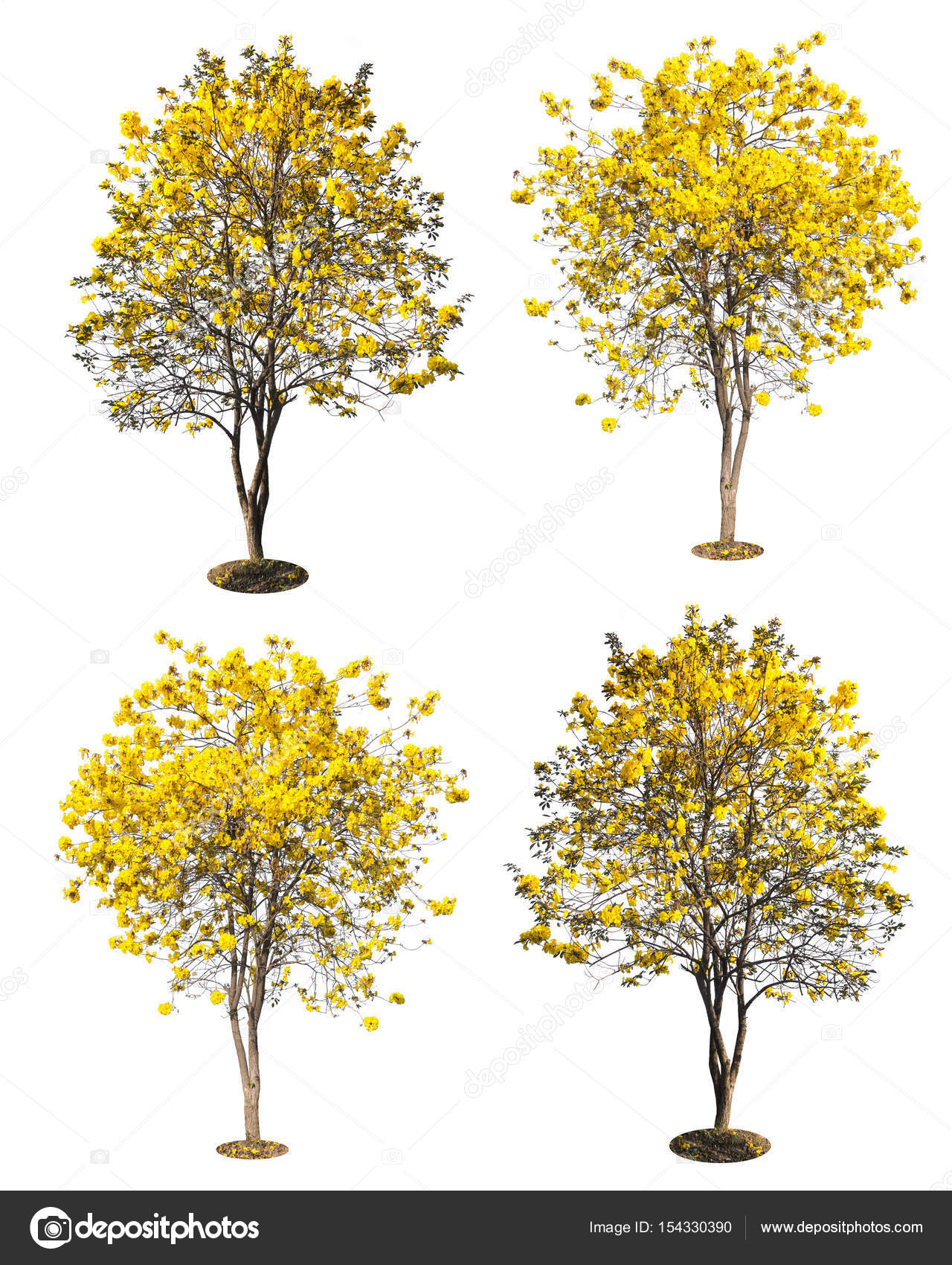 Golden Tree Yellow Flowers Tree Tabebuia Isolated On White Stock