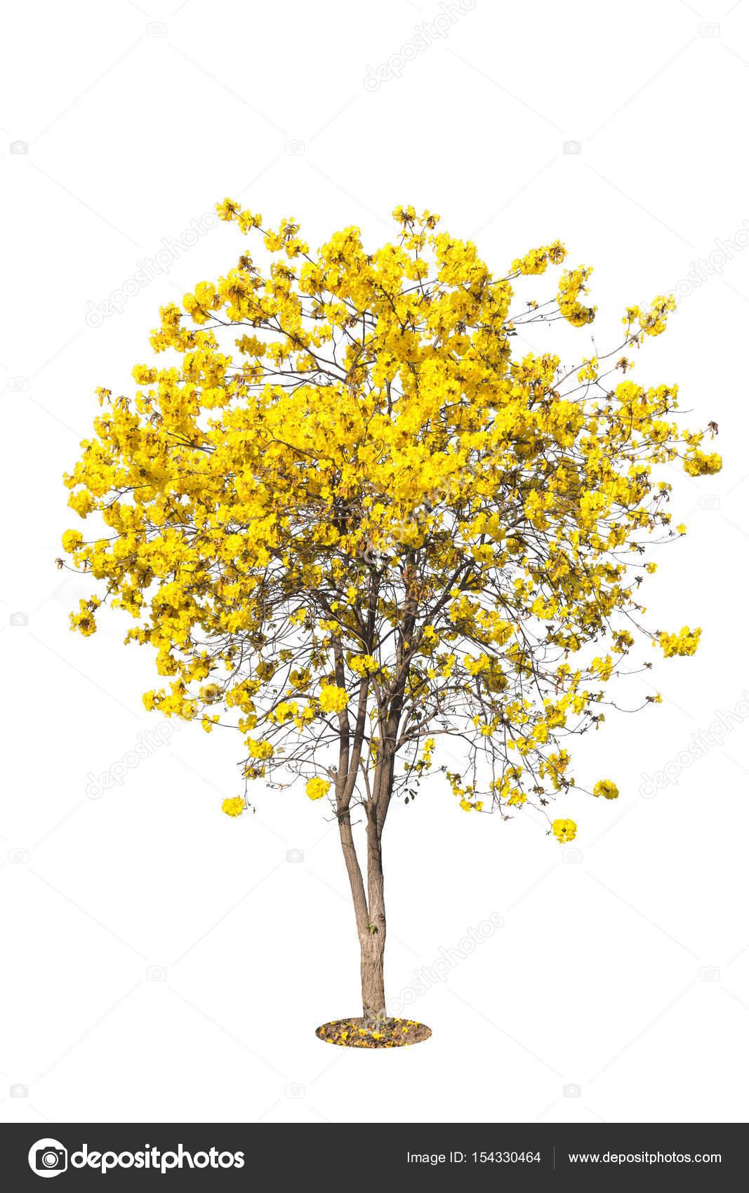 Golden tree yellow flowers tree tabebuia isolated stock photo golden tree yellow flowers tree tabebuia isolated stock photo mightylinksfo