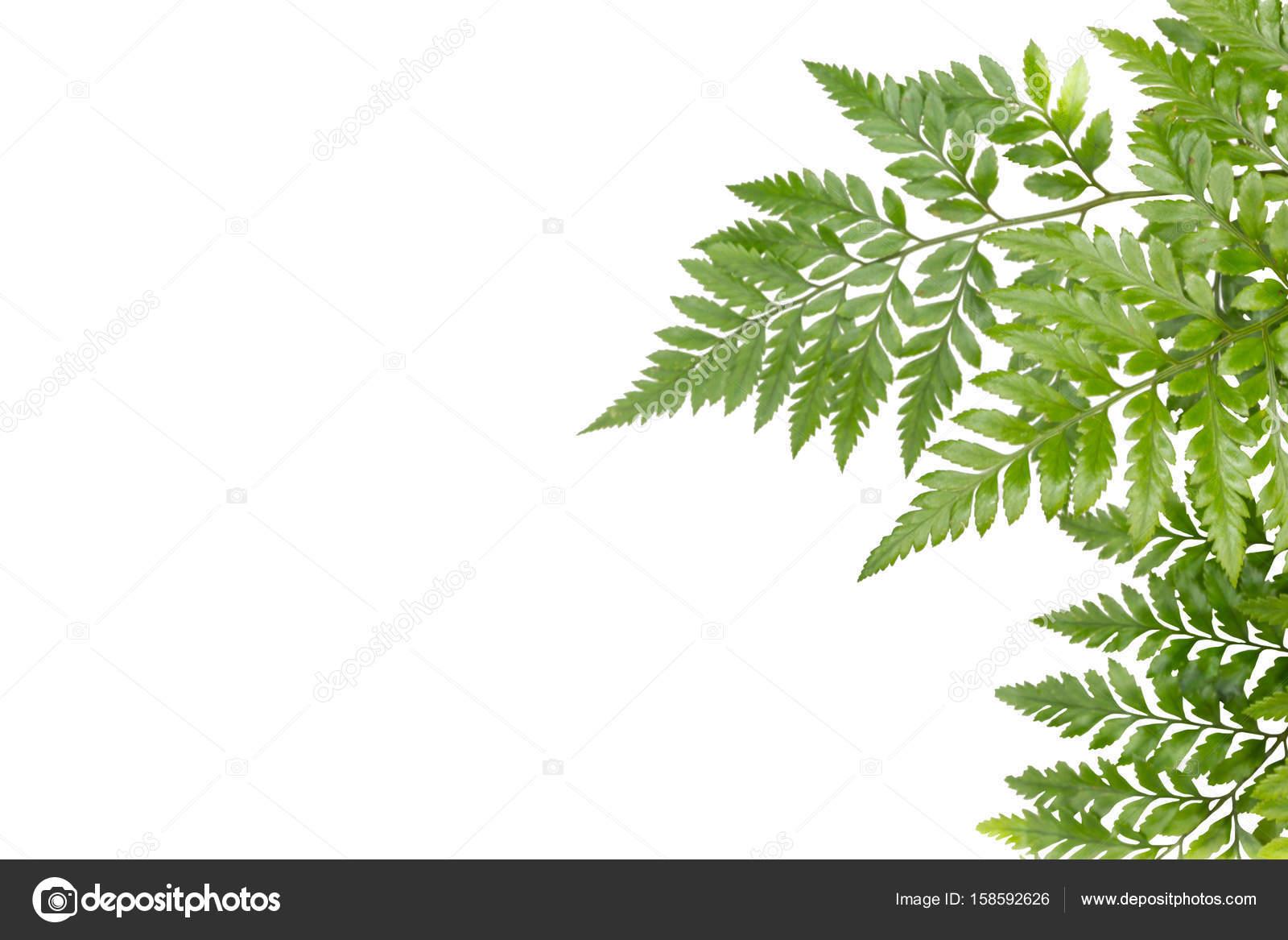 hojas verdes para marco sobre fondo blanco, borde de naturaleza ...