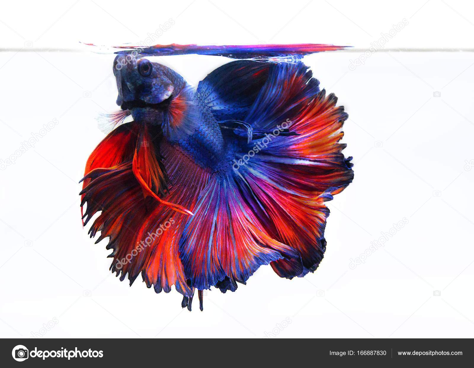 Image Of Betta Fish On White Background — Stock Photo © madman2002 ...