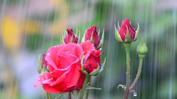 raindrops and roses