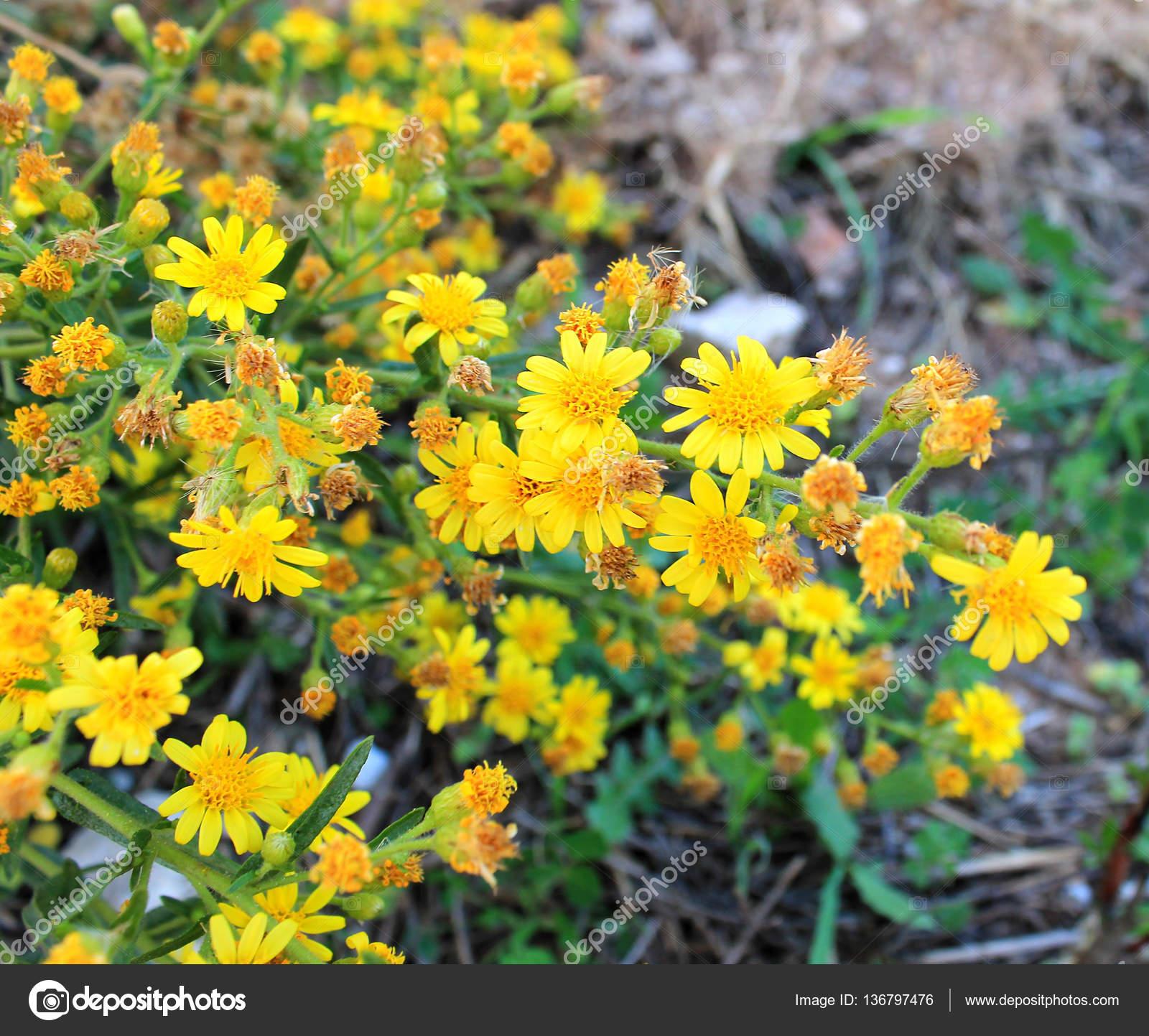 Rare Medicinal Plant Yellow Flowers Golden Rod Stock Photo Shef