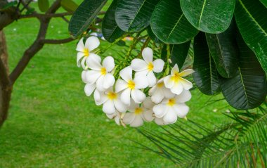 A bunch of beautiful white and yellow petals Plumeria blooming on green leaves in a park, know as another name are Temple tree, Frangipani, Graveyard tree, is a fragrant flowering plant