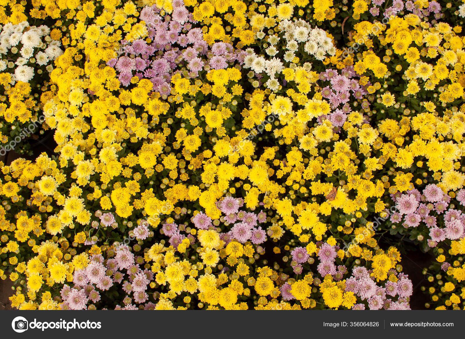 Yellow Purple Petals Chrysanths Flowering Blooming Small Bud Green Leaves Stock Photo C Aimful 356064826