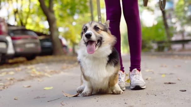 Krásný a rozkošný velšský Corgi pes v parku.