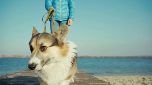 roztomilý pes Welsh Corgi plemeno chůze na pláži na modrém pozadí oblohy
