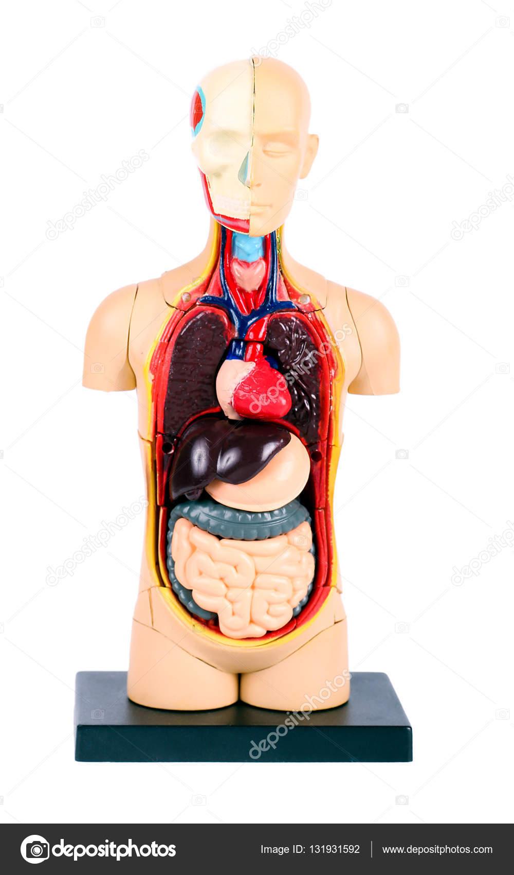 Plastic human body model — Stock Photo © manyakotic #131931592