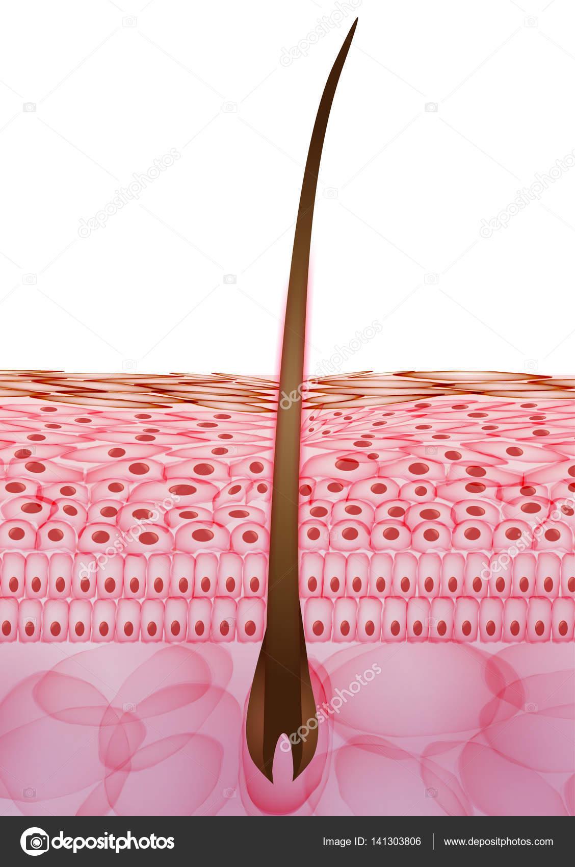 La piel de las células de pelo, capas - ilustración de vectores ...