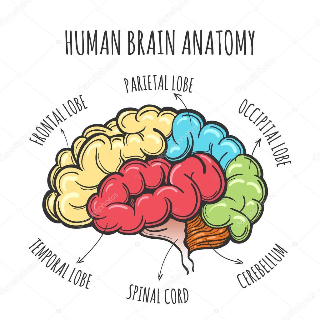 Dibujo de anatomía del cerebro humano — Archivo Imágenes Vectoriales ...