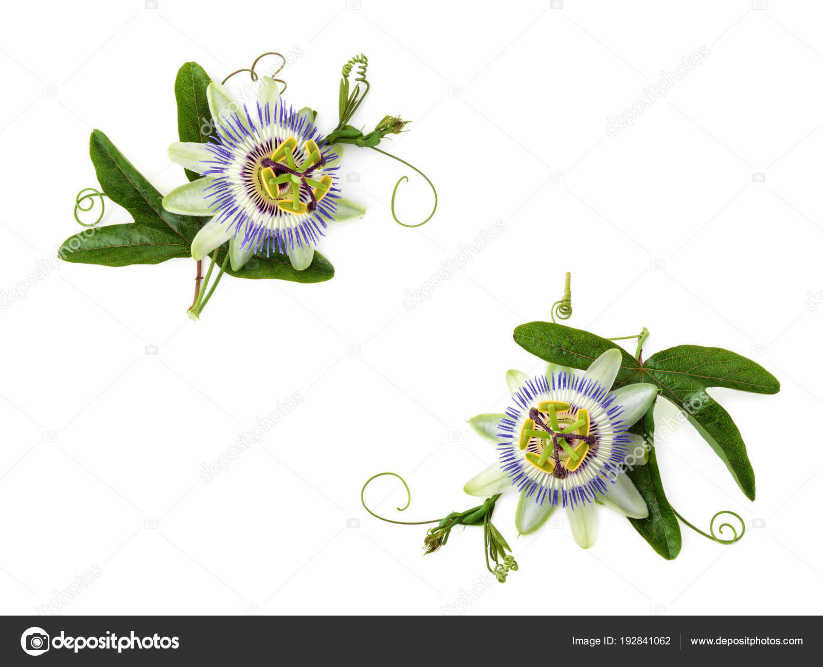 Passion Flower On White Stock Photo Vitaina 192841062