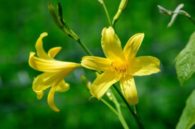 Close up of two delicate yellow daylily or Lilium flowers in full bloom in a summer garden, beautiful outdoor floral background photographed with soft focus