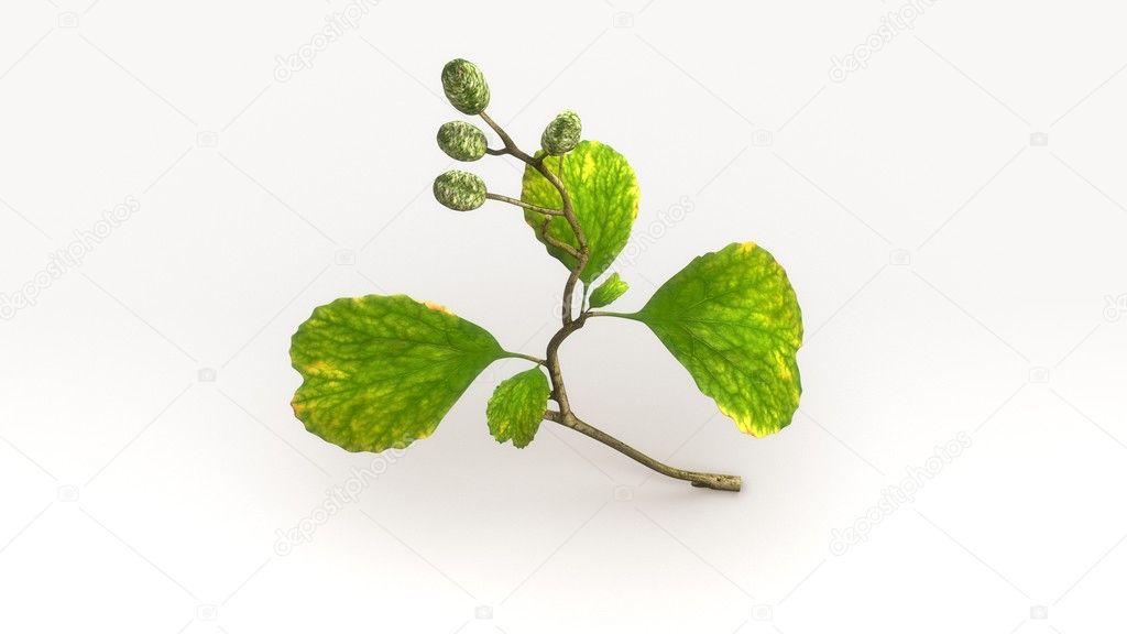 Erle Baum Blätter — Stockfoto © sciencepics #124929264