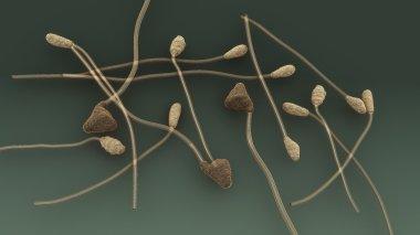 Colletotrichum, plant fungus