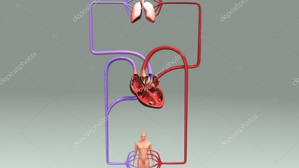 Human Circulatory System Anatomy Stock Photo Sciencepics 125402074
