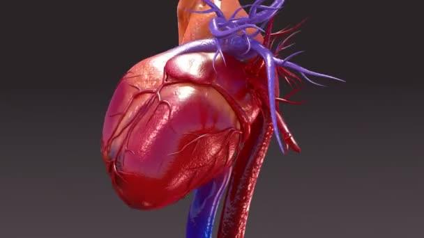 Emberi keringési rendszer anatómiája