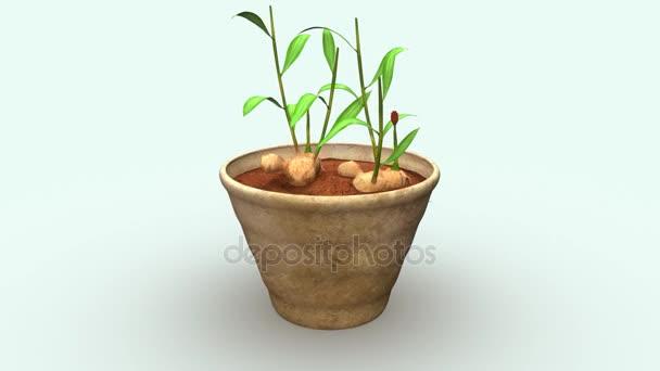 Zingiber, ginger plant