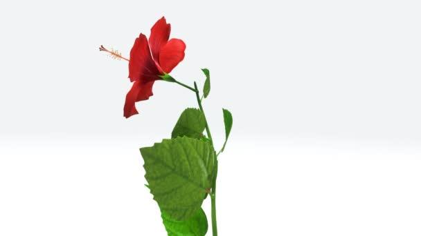Hibiszkusz növény a levelek és a virág