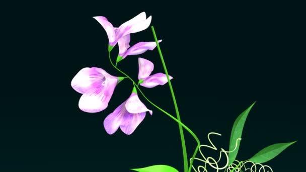 Platterbse, Zuckererbsen Pflanze