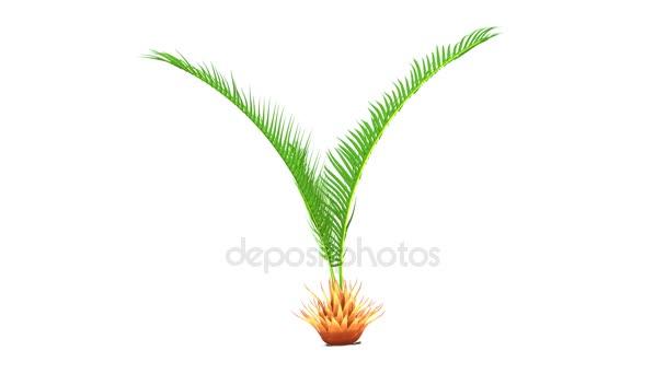CYCAS-Baum, Palme, Pflanze