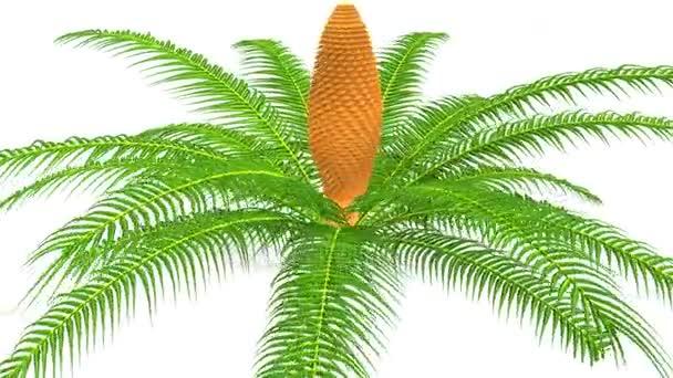 Cycas fa, palm, növény