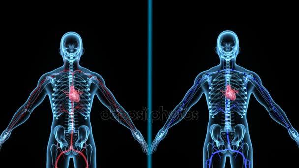 modelos de la anatomía en movimiento de las células de sangre ...