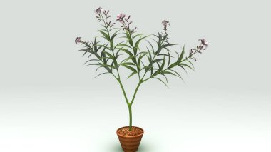 Nerium plant illustration