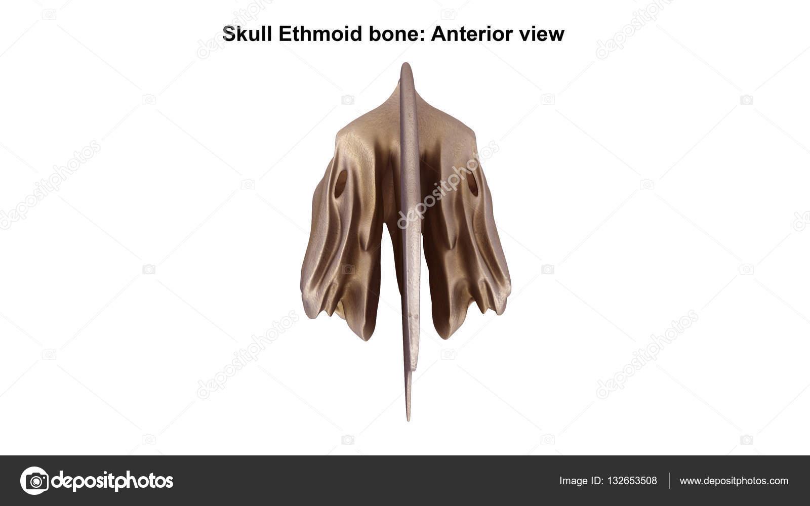 Ethmoid bone Anterior — Stock Photo © sciencepics #132653508