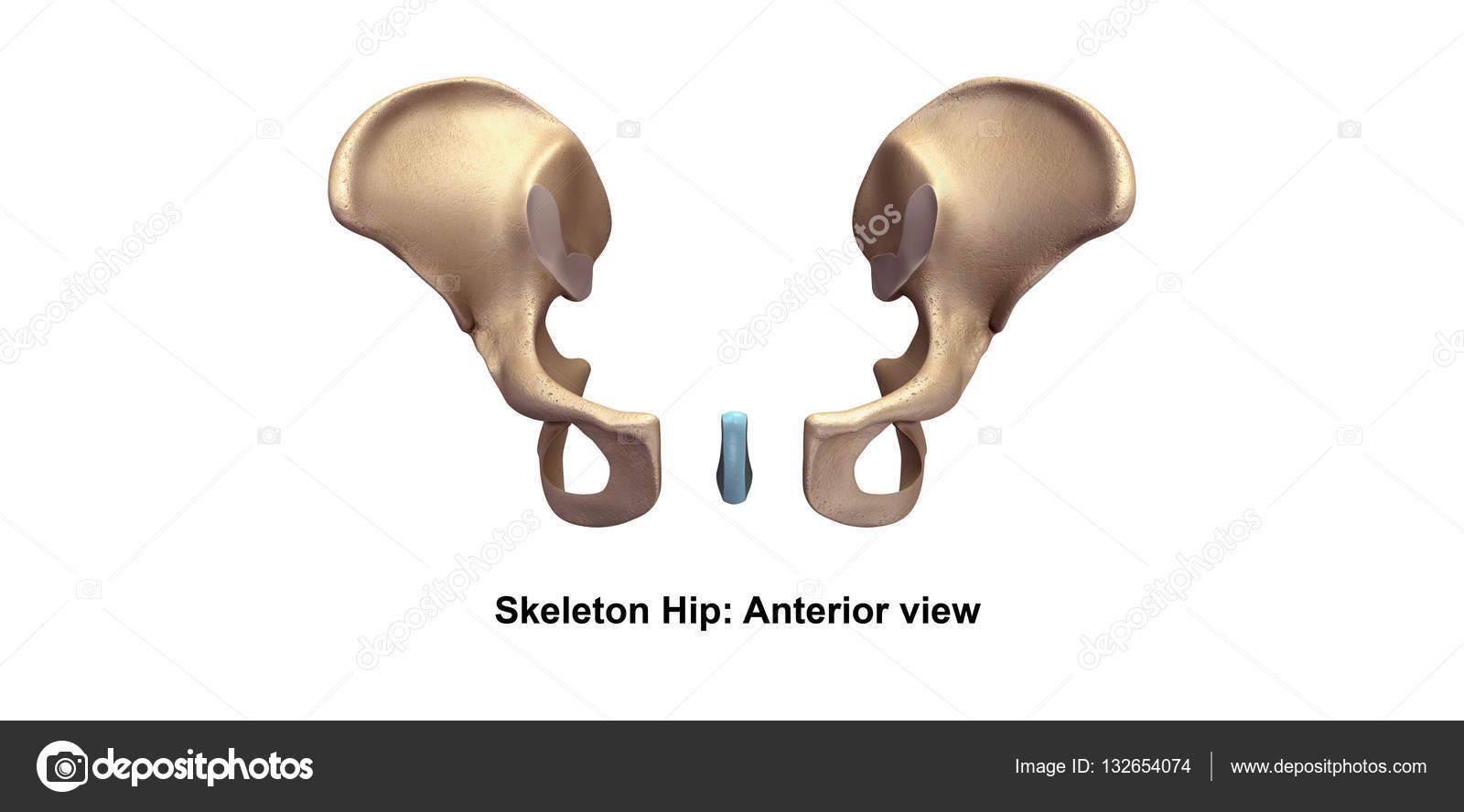 Skeleton hip illustration — Stock Photo © sciencepics #132654074