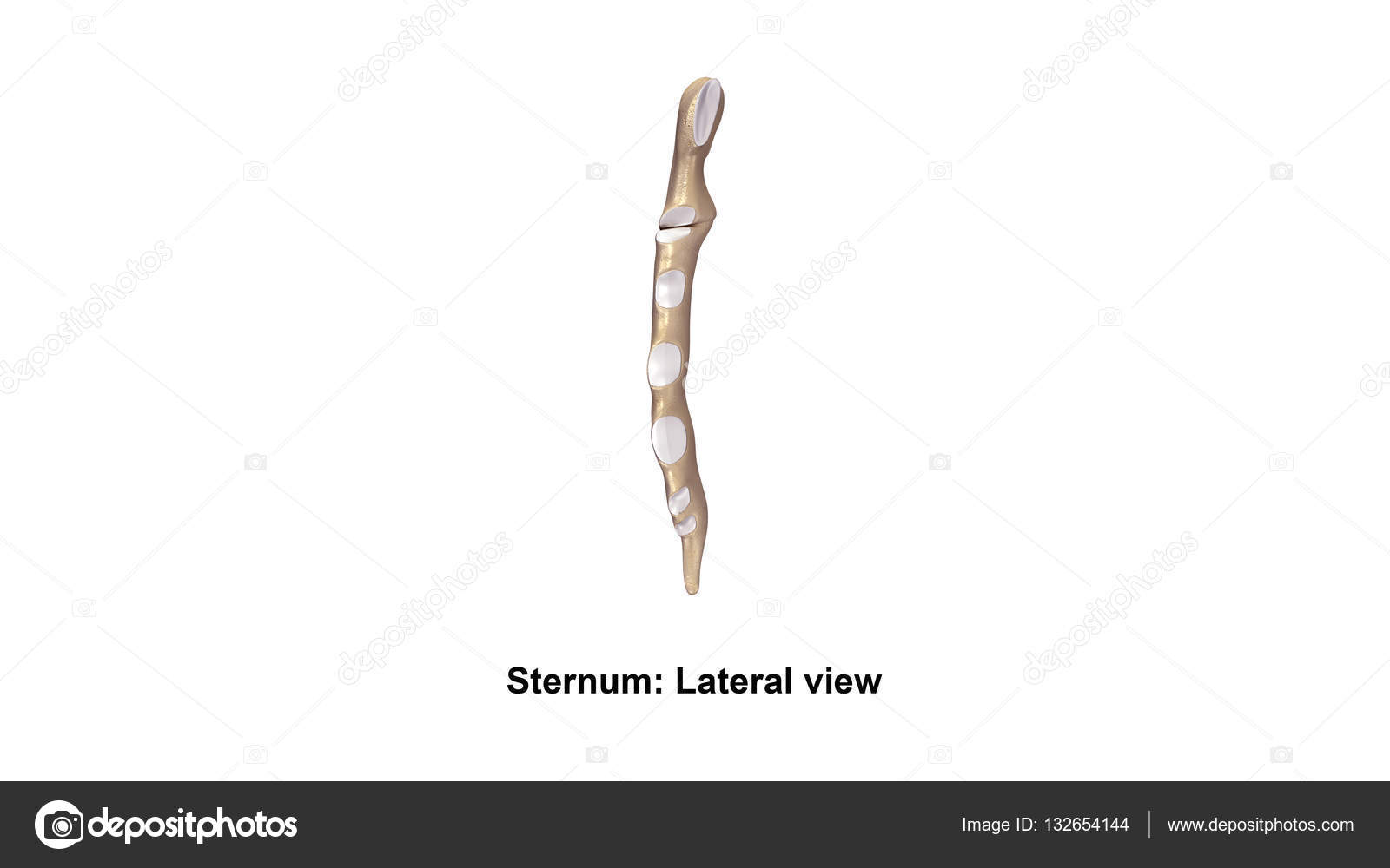 Human Sternum Bone Stock Photo Sciencepics 132654144
