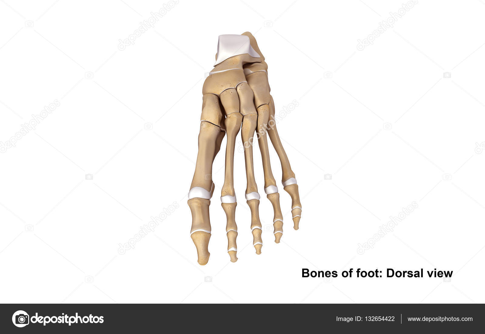 Skelett Fuß Pflanzer-Ansicht — Stockfoto © sciencepics #132654422