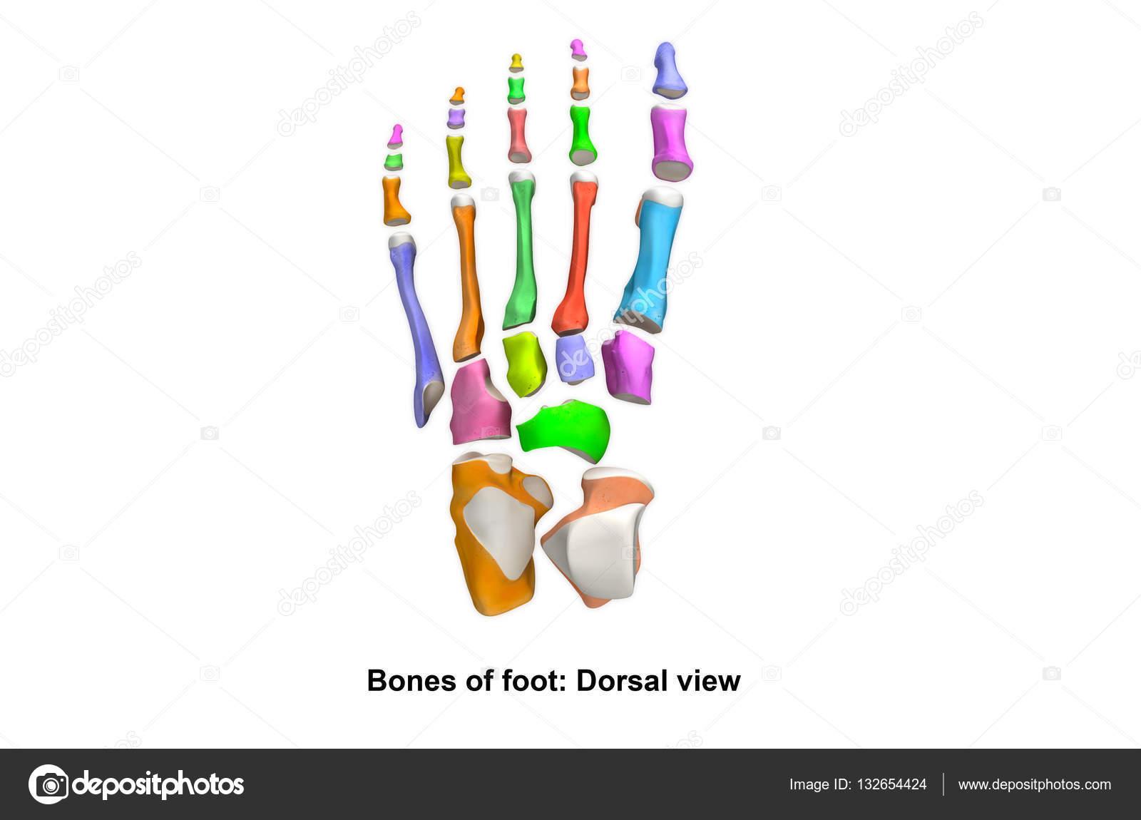 Skelett Fuß Pflanzer-Ansicht — Stockfoto © sciencepics #132654424