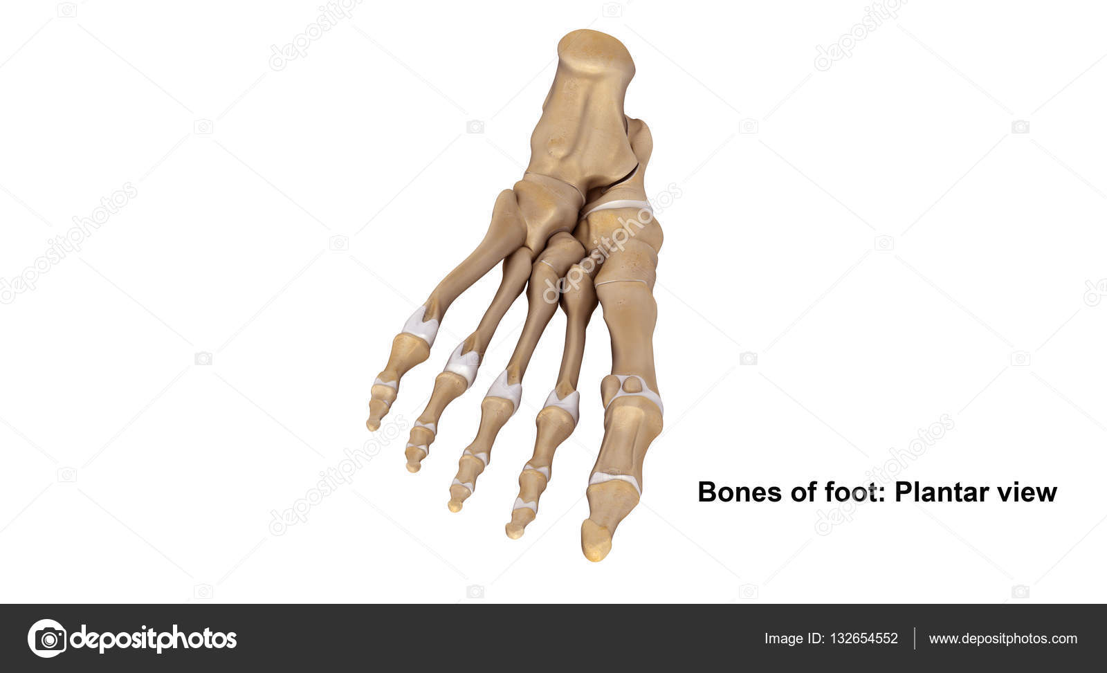 Skeleton Foot Planter view — Stock Photo © sciencepics #132654552