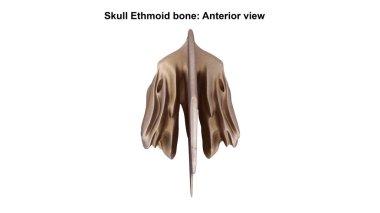 Ethmoid bone Anterior