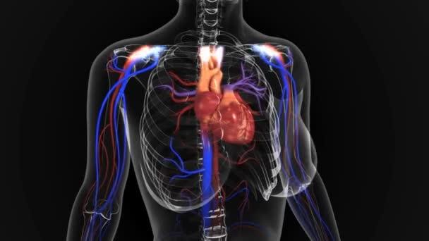 Menschliches Herz — Stockvideo © sciencepics #132753352