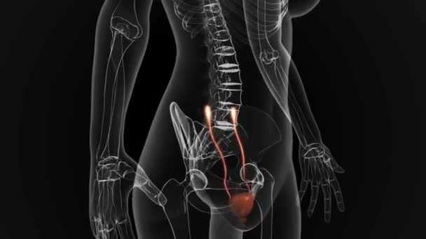 Female URINARY SYSTEM anatomy