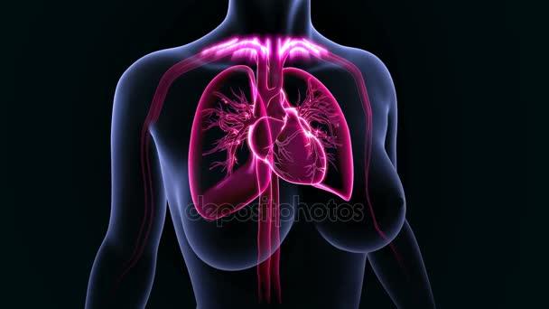 Corazón humano masculino pulmones — Vídeos de Stock © sciencepics ...