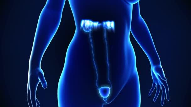 Anatomía del sistema urinario femenino — Vídeo de stock ...