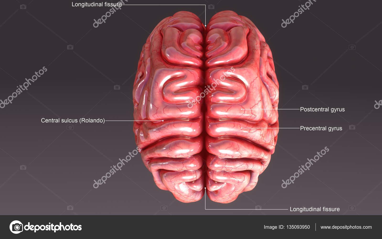Anatomía del cerebro humano — Foto de stock © sciencepics #135093950