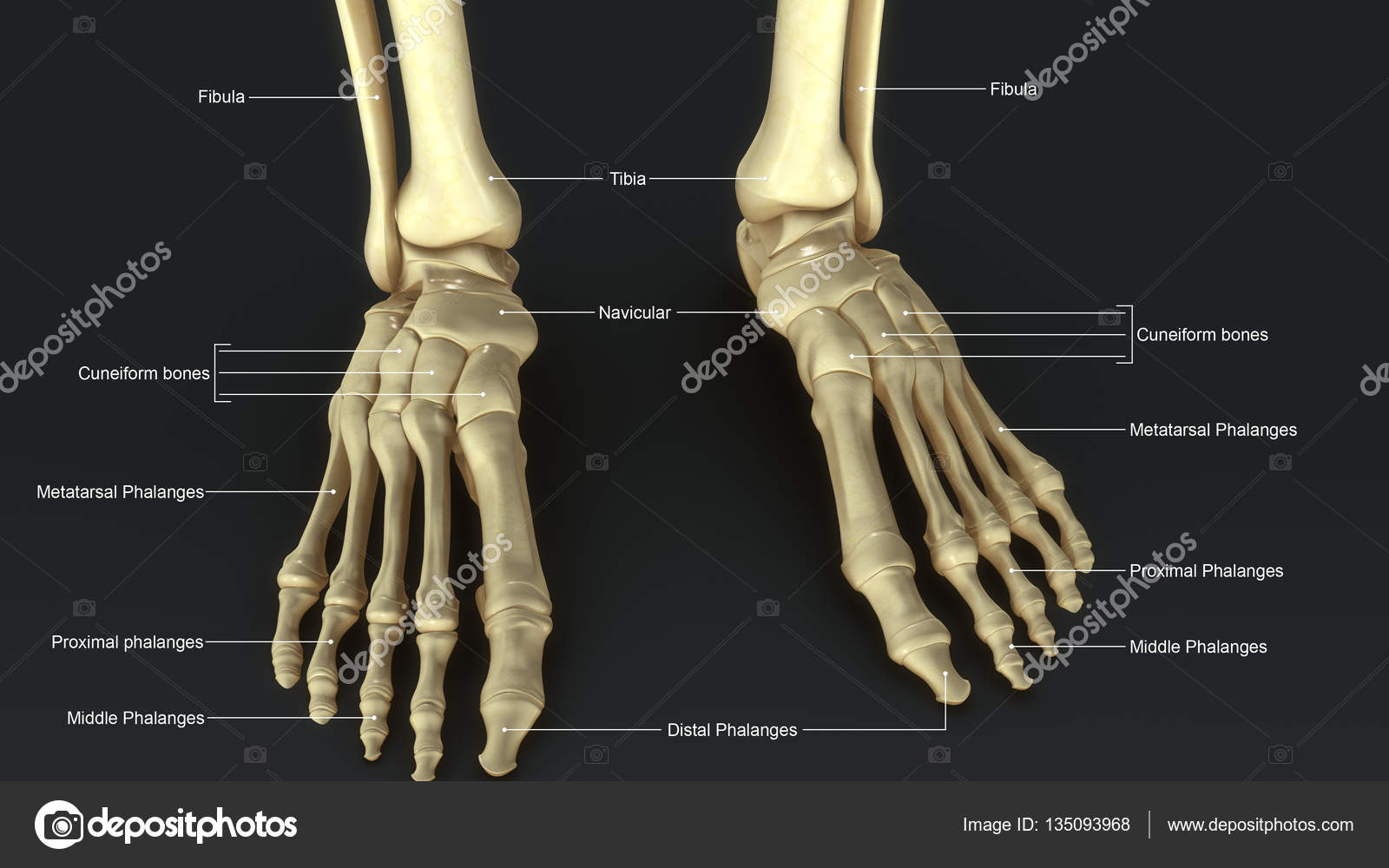 Esqueleto pie con ligamentos — Fotos de Stock © sciencepics #135093968