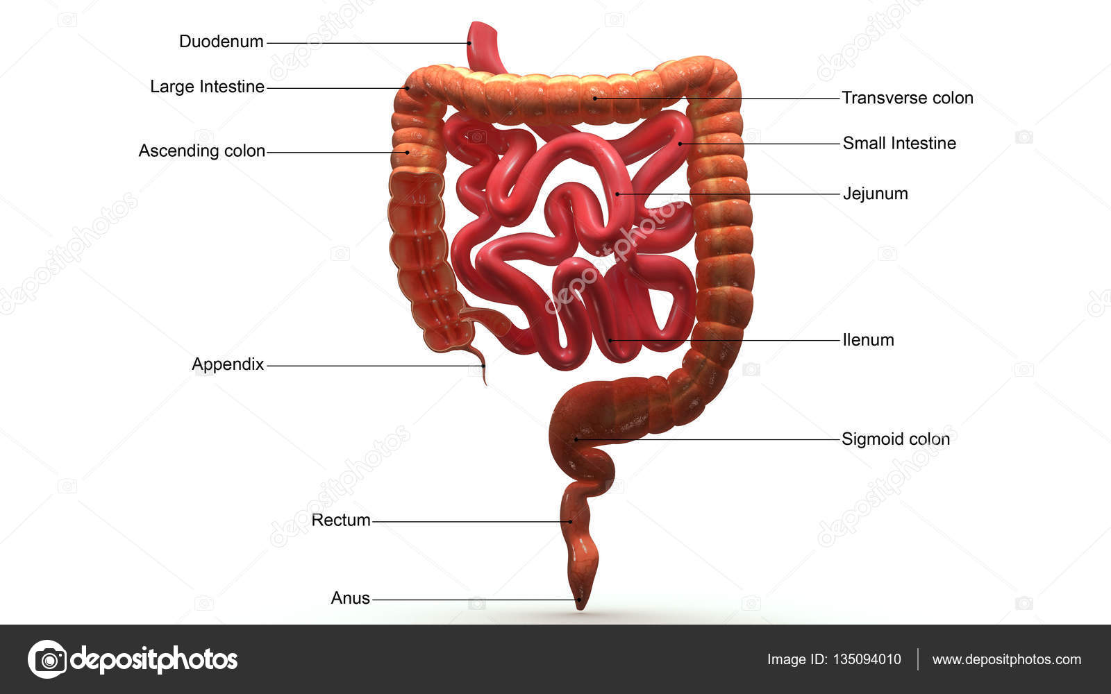 Large Intestines Section Stock Photo Sciencepics 135094010