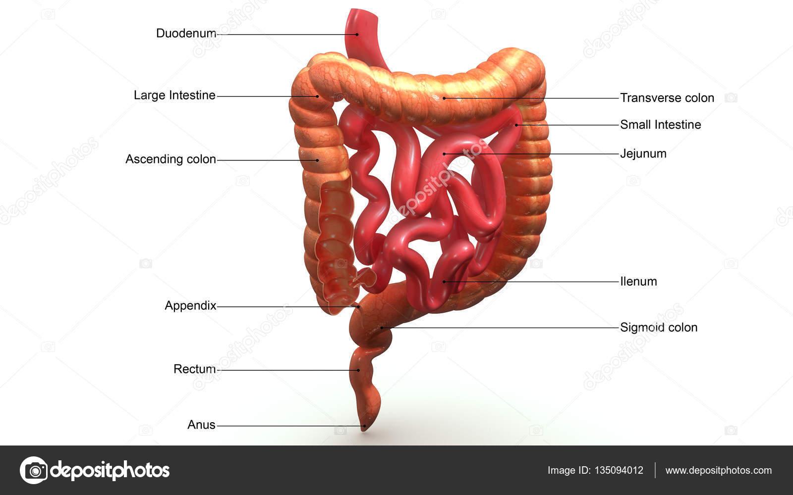 Dickdarm-Abschnitt — Stockfoto © sciencepics #135094012