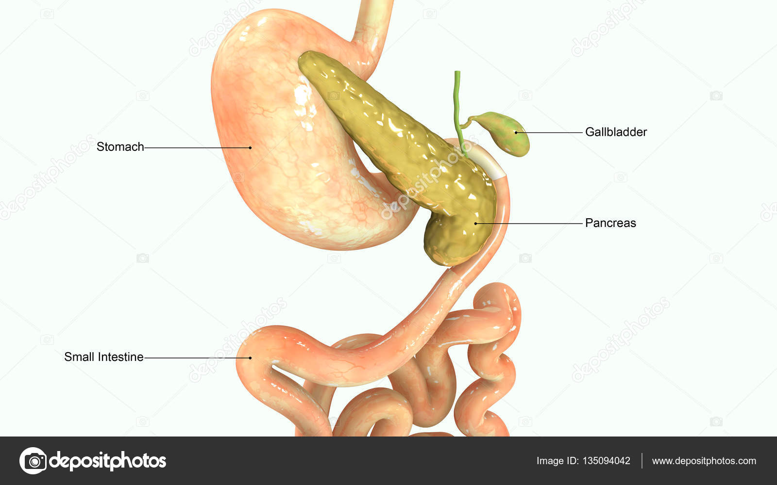 Bauchspeicheldrüse 3D-Illustration — Stockfoto © sciencepics #135094042