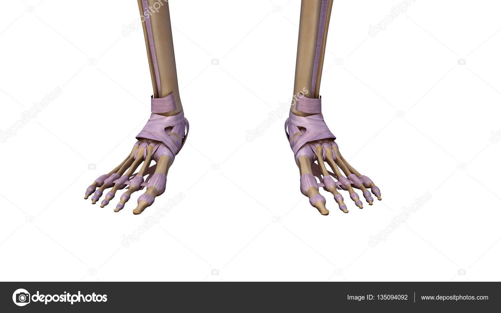 Skelett Fuß mit Bänder — Stockfoto © sciencepics #135094092