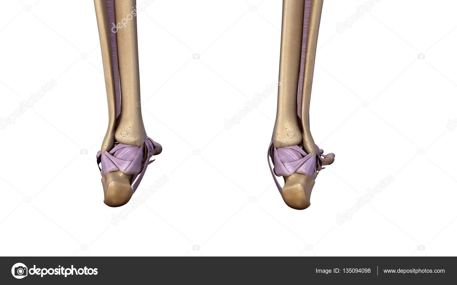 Skelett Fuß mit Bänder — Stockfoto © sciencepics #135094098