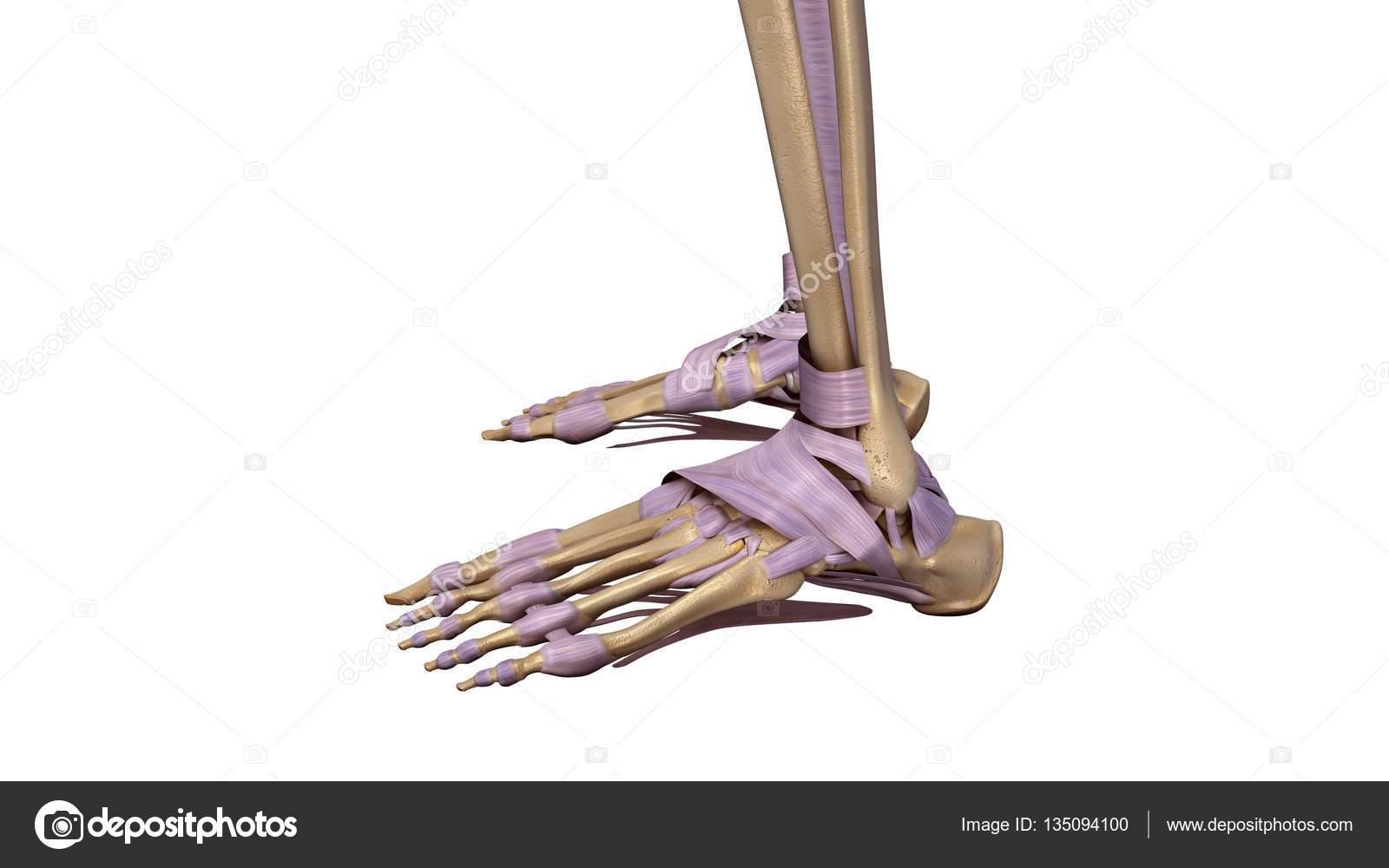 Esqueleto pie con ligamentos — Foto de stock © sciencepics #135094100